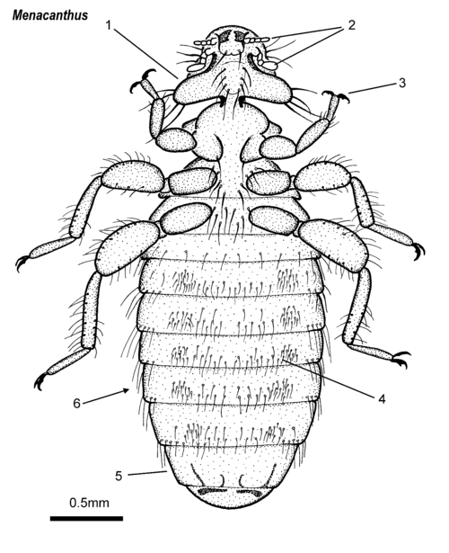 Menacanthus female ventral.png