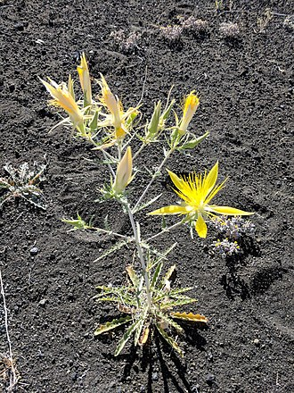 Mentzelia - Mentzelia laevicaulis photographed at Mono Lake, CA