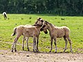 Merfeld, Merfelder Bruch, Dülmener Wildpferde, Fohlen -- 2021 -- 9353.jpg