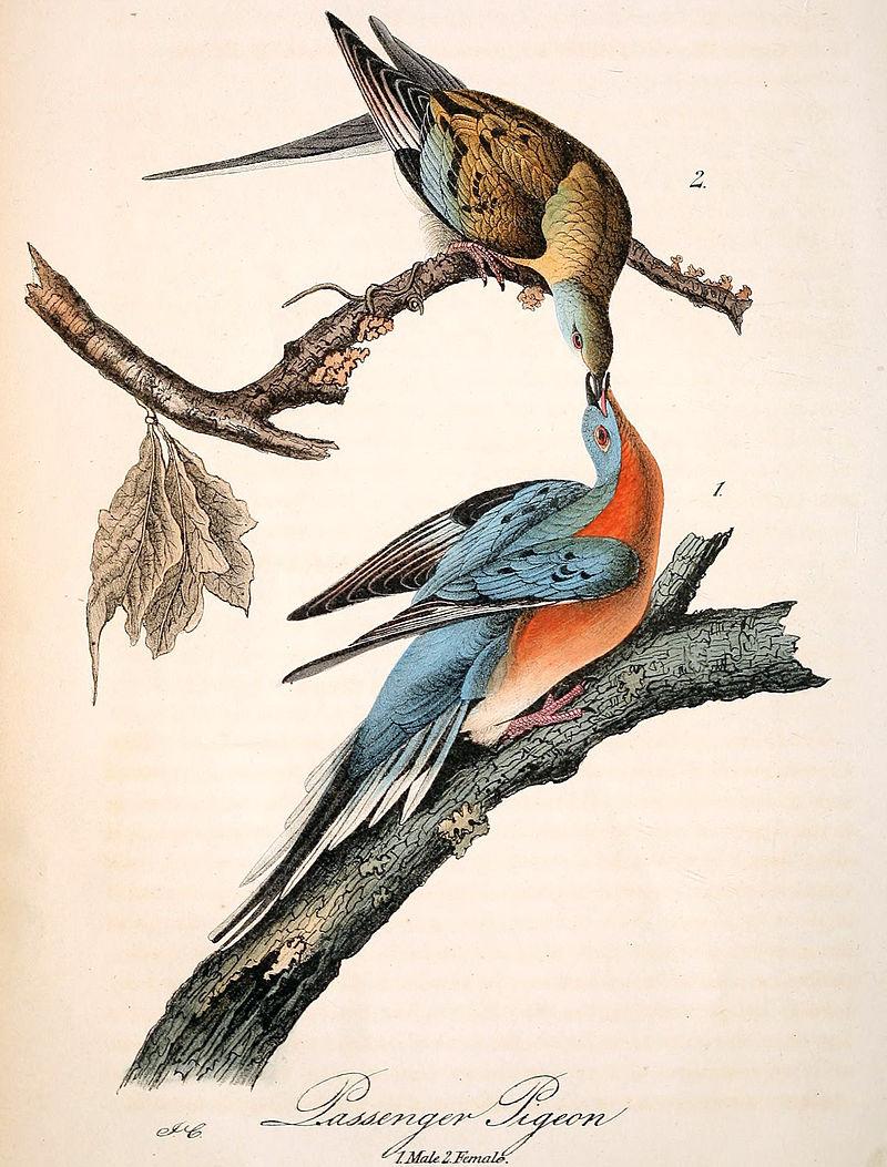 奧杜邦記錄的一對旅鴿。