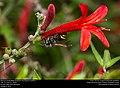 Mexican Honey Wasp (Vespidae, Brachygastra mellifica) (30627285895).jpg