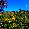 Miami Beach - Sand Dunes Flora - Sea Grapes and Dune Sunflowers 02.jpg