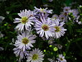 Michaelmas daisy or Aster amellus from Lalbagh Flowershow - August 2012 4719.JPG