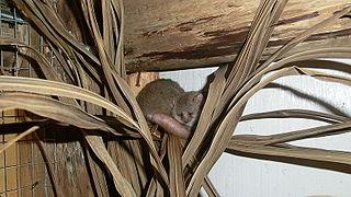 Reddish-gray mouse lemur species of mammal