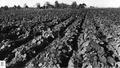 Milllán 1947 - Cucurbita maxima var. zapallito - campo cultivado con zapallito de tronco.png