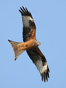 A brown, black and white bird soars against a blue sky, with its wing and tail feathers spread.
