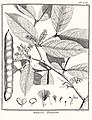Mimosa bourgoni Aublet 1775 pl 358.jpg