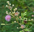 Mimosa hamanta (Gulabi babhul) in Hyderabad, AP W IMG 0250.jpg