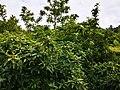 Mispelbusch im Schulgarten -2.jpg