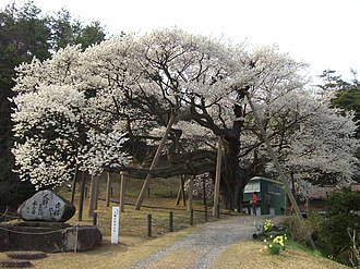 Hamada, Shimane - Approx. 600-year-old cherry tree in Misumi. An area of western Hamada.