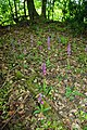 Moat Wood Orchid Patch - geograph.org.uk - 1305943.jpg