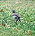 Mockingbird Chick014.jpg