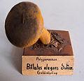 Modell von Boletus elegans (Goldröhrling).jpg