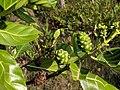 Morinda citrifolia 17.jpg