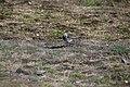 Motacilla alba (28975955591).jpg