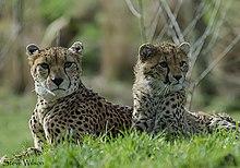 Moeder en dochter noordwesten Afrikaanse cheeta's