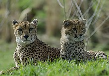 Mother and daughter northwest African cheetahs