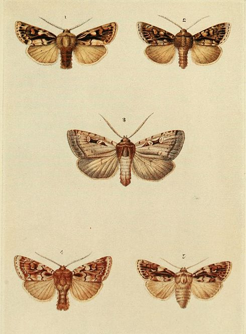 Moths of the British Isles Plate108.jpg