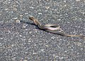 Mozambique Spitting Cobra (Naja mossambica) juvenile (13849510513).jpg