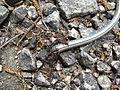 Mravenci požírající hada.jpg