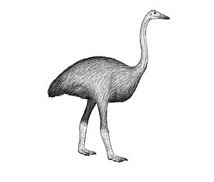 Elephant bird - Mullerornis agilis