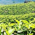 Munnar15,Kerala, India.jpg