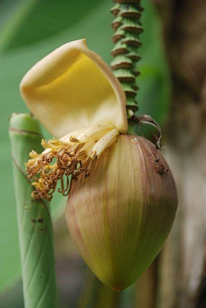 File:Musa x paradisiaca-Japoniar bananondo 38.jpg