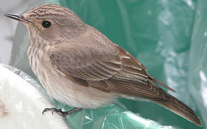 Muscicapa striata on waste bin.JPG