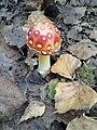 Mushroom in Polnad.jpg