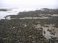 Mussel beds, Eastern Craigs. - geograph.org.uk - 49289.jpg