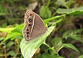 Mycalesis mineus – Dark-branded Bushbrown 05.jpg