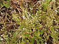 Myosotis ramosissima eF.jpg