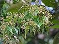 Myrcia sylvatica, purpuna - Flickr - Tarciso Leão (12).jpg
