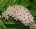 Myrsinaceae - Lysimachia clethroides-1.JPG