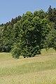 NDOÖ 143 Gsanglinde Viechtwang Scharnstein Mai 2015.jpg