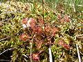 NPP Swamp - Drosera rotundifolia.JPG