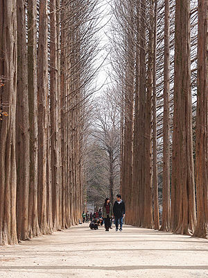 Namiseom - The Metasequoia footpath on Namiseom