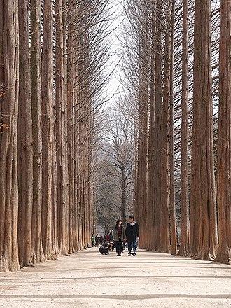 Namiseom - The Metasequoia footpath on Namiseom