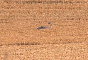 Greater rhea - Feral greater rhea in cereal field in Mecklenburg-Vorpommern, Germany. The species normally uses such monocultures to hide rather than to feed on the plants.