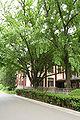 NanjingNormalUniversity tree1.jpg