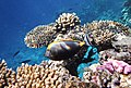 Naso elegans - Изящная рыба-носорог -Elegant unicornfish..DSCF2976ОВ.jpg
