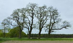 Naturdenkmal Baumreihe mit 4 Robinien (ND-H 074).JPG