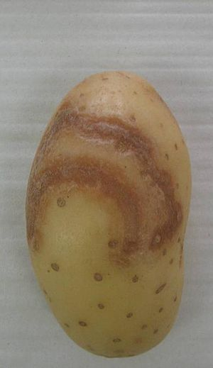 Potato virus Y - Potato illustrating necrotic ringspot disease