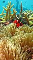 Nemo dan Anemon.jpg