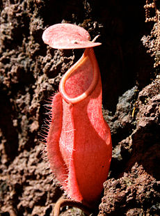 Nepenthes vieillardii pitcher cropped.jpg