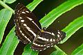Neptis nata lutatia dorsal view 20130623.jpg