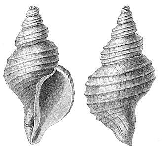 Neptunea despecta - Two views of a shell of one form of  Neptunea despecta