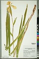 Neuchâtel Herbarium - Iris pseudacorus - NEU000099512.jpg