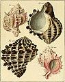 Neues systematisches Conchylien-Cabinet (1829) (14597712460).jpg