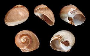 Neverita didyma - Five views of a shell of Neverita didyma
